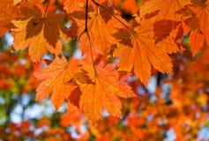 клен ветви 2 осеней Стоковые Изображения