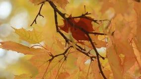 Клен в лесе осени в лучах заходящего солнца Ландшафт осени видеоматериал