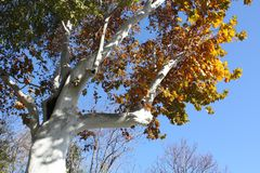 Клен дерева в осени Стоковое Изображение