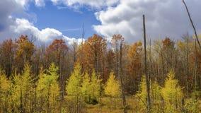 Клен и лиственница, осень стоковое изображение rf
