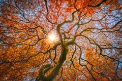 Клен красного дракона японский в цветах осени Стоковое Фото