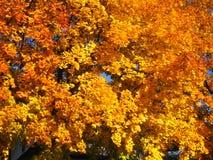 клен листовых золот Стоковые Фото