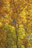 клен листьев ветви осени цветастый Стоковые Фотографии RF