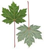 клен листьев встает на сторону 2 Стоковое Изображение RF
