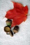 клен листьев жолудей Стоковые Фотографии RF