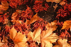 клен листьев крупного плана цветастый Стоковое фото RF
