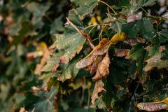клен листьев осени Бабье лето в парке города Стоковое Фото