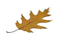 клен листьев осени красивейший Стоковая Фотография RF