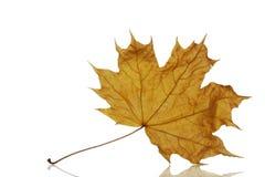 клен листьев осени сухой Стоковая Фотография RF