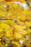 клен листьев осени Стоковая Фотография