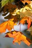 клен листьев осени Стоковая Фотография RF
