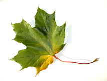 клен листьев осени Стоковые Изображения RF
