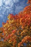 клен листьев падения предпосылки Стоковые Фото