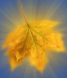 клен листьев предпосылки голубой темный Стоковая Фотография