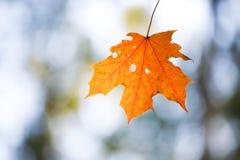 клен листьев сиротливый Стоковая Фотография RF