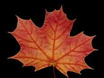 клен листьев стоковые фото