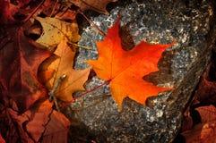клен листьев Стоковое Изображение