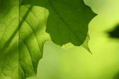 клен листьев стоковые изображения