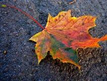 клен листьев Стоковые Изображения RF