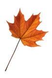 клен листьев Стоковое фото RF