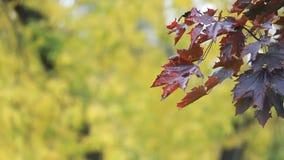 Клен осени - яркие красные кленовые листы дрожат в ветре видеоматериал