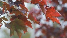 Клен осени - яркие красные кленовые листы дрожат в ветре сток-видео