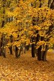 клен осени Стоковое фото RF
