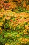 клен осени Стоковое Фото