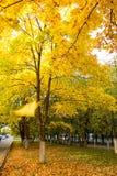 Клен осени Patula желтый стоковое изображение rf