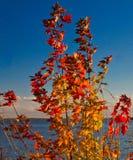 Клен Lake Superior Стоковая Фотография