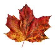Клен rubrum Acer Multicolor изолированный кленовый лист осени стоковые изображения rf