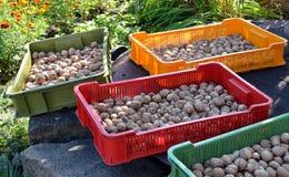 клети суша грецкие орехи стоковое изображение
