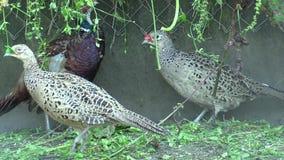 Клетка для обширного размножения крана фазанов мужского и женской курицы, и другая птица Регулярн подавать с свежей травой сток-видео