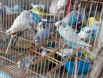 Клетка птицы волнистого попугайчика или длиннохвостого попугая для продажи в рынке Стоковые Изображения RF