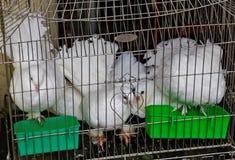 клетка птицы голубя белого пера hutch птицы голубя стоковые изображения rf