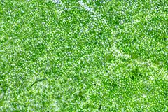Клетки лист под микроскопом Стоковая Фотография RF