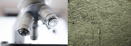 Клетки лука - микроскопическое изображение Стоковые Фото