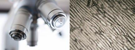 Клетки лука - микроскопическое изображение Стоковое Изображение RF