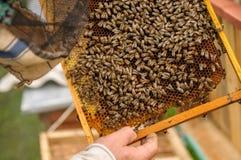 Клетки меда на рамке окруженной пчелами Лечебное влияние Стоковые Изображения RF