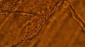 Клетки чеснока под микроскопом сток-видео