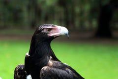 Клин-замкнутый конец головы орла вверх Стоковые Изображения