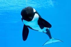 клокочет кит убийцы Стоковые Изображения RF