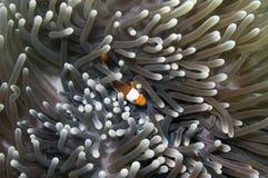 клоун anemonefish ложный Стоковое Изображение