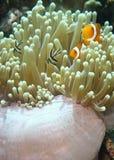 клоун anemonefish ложный Стоковые Изображения RF