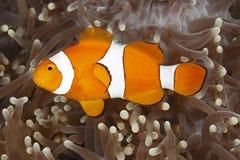 клоун anemonefish Стоковое Фото