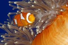 клоун anemonefish Стоковое фото RF