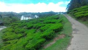 Клубника завода чая на агро технопарк в гористых местностях Малайзии MARDI Камерона Стоковые Изображения
