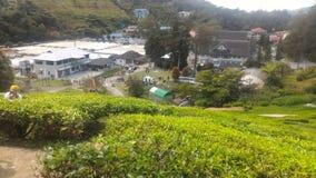 Клубника завода чая на агро технопарк в гористых местностях Малайзии MARDI Камерона Стоковая Фотография