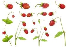 клубника красного цвета bushes ягод установленная Стоковое Фото