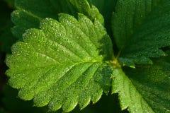 клубника листьев стоковая фотография